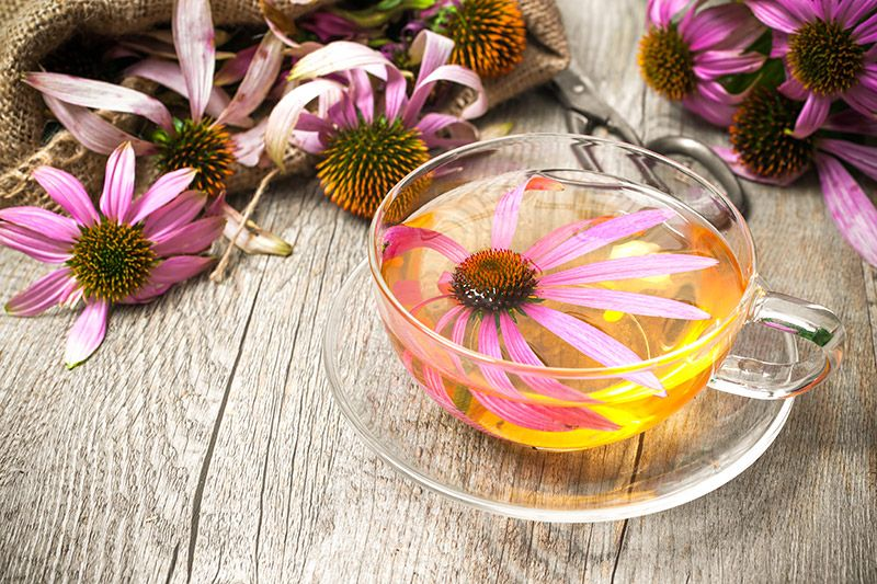 echinacea (jeżówka)